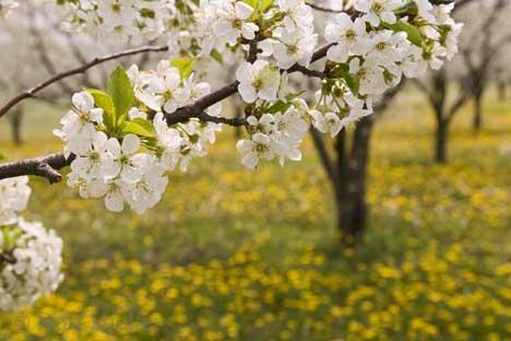 [تصویر:  1_spring_blossoms.jpg]