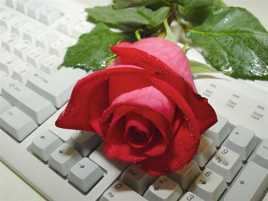 http://www.askquran.ir/gallery/images/1382/1_Rose.jpg