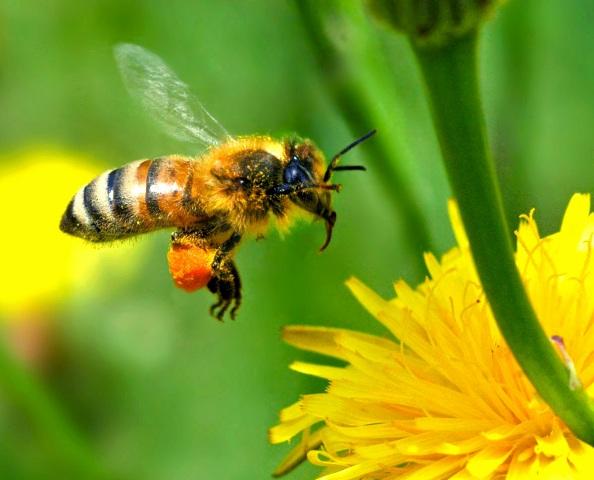 http://www.askquran.ir/gallery/images/18185/1_free-wallpaper-desktop-wallpaper-honey-bee-autan-picture.jpg