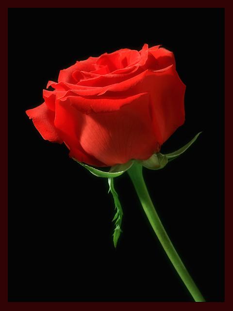 حقیقتی به زیبایی گل سرخ