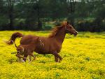 Arabian_Mare_and_Foal__Louisville__Kentucky.jpg